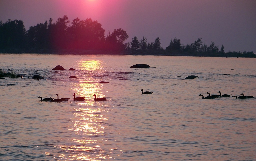 Ducks on water during sunset